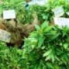 Méregtelenítő gyógynövények és azok hatásai